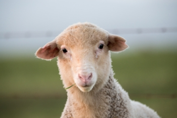 Harvest the wool by all means, but cruelty has no place in a civilized society.